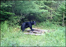 black bear hunting